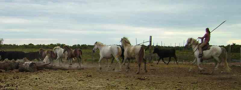 Horses  in the camargue region of  France