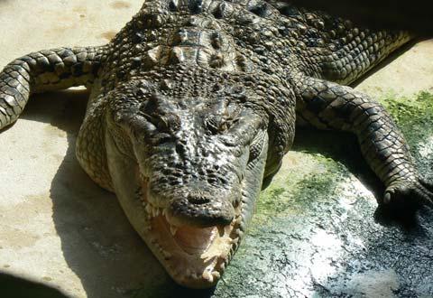 Alligator bay Manche Normandy