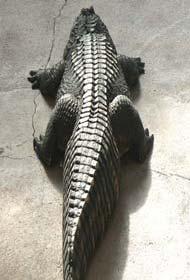 Alligator Bay Normandy