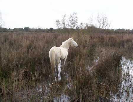 camargue horse picture