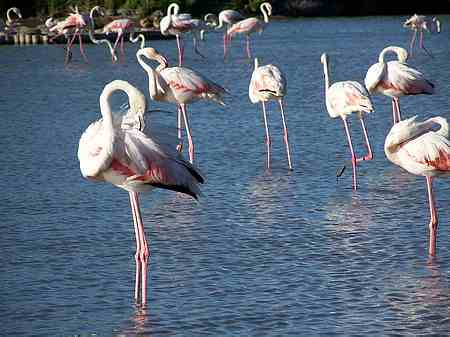 The flamingo picture