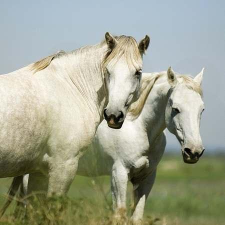Camargue horses picture