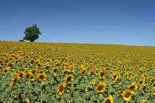 french sun flowers
