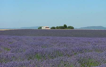 provence lavender picture