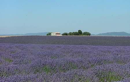 provence lavender picture