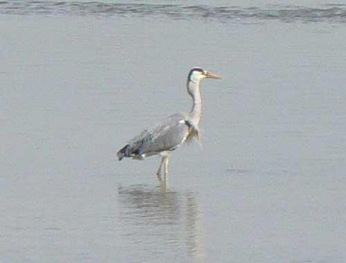 le Parc du Marquenterre heron picture
