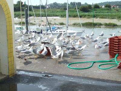 Gulls being feed by fishermen at Etaples harbour