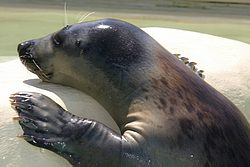 biarritz seal picture