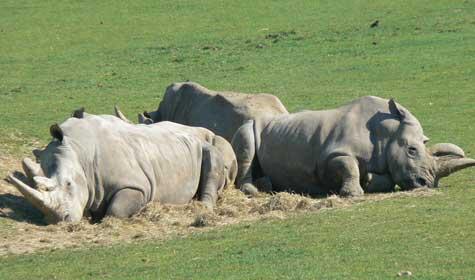 Creza zoo Normandy rhino